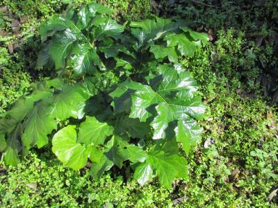 Acanthe à feuilles molles, Acanthe molle Acanthus mollis L., 1753