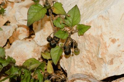 Morelle noire Solanum nigrum L., 1753
