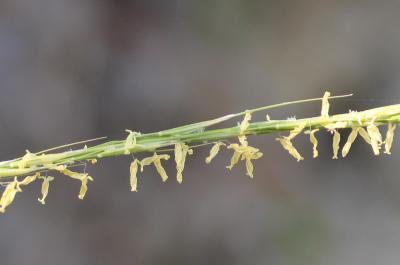 Plumet faux brome, Stipe faux Brome Achnatherum bromoides (L.) P.Beauv., 1812