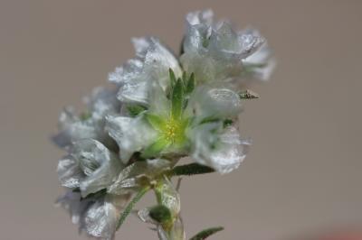 Paronyque en tête Paronychia capitata (L.) Lam., 1779