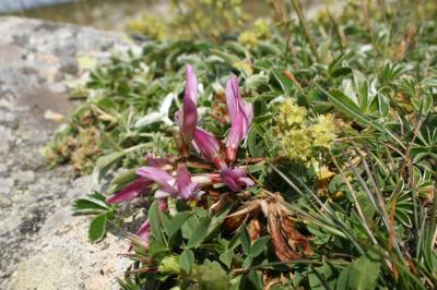 Trèfle des Alpes Trifolium alpinum L., 1753