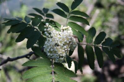 Sorbier des oiseleurs, Sorbier sauvage Sorbus aucuparia L., 1753
