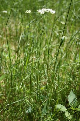 Conopode dénudé, Grand Conopode Conopodium majus (Gouan) Loret, 1886