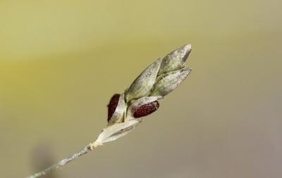 Éragrostide verdissante Eragrostis virescens J.Presl, 1830