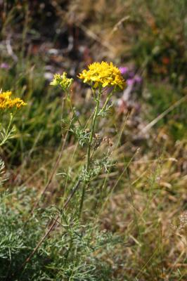 Séneçon à feuilles d'Adonis Jacobaea adonidifolia (Loisel.) Mérat, 1812