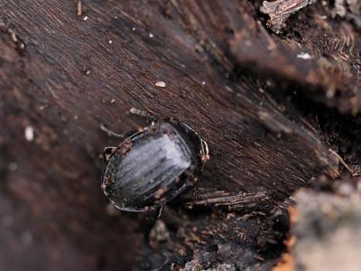 Phosphuga atrata (Linnaeus, 1758)