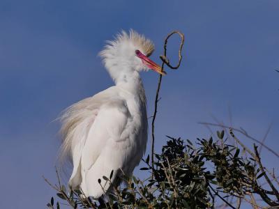 Héron garde-boeufs Bubulcus ibis (Linnaeus, 1758)