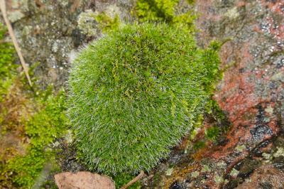 Grimmia pulvinata (Hedw.) Sm., 1807