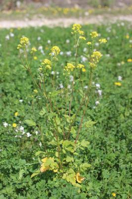 Moutarde blanche Sinapis alba L., 1753