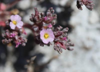 Frankénie annuelle Frankenia pulverulenta L., 1753