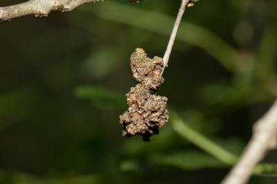 Aceria fraxinivora (Nalepa, 1909)