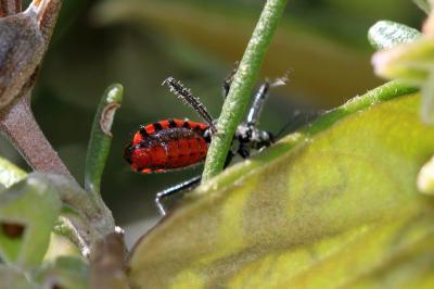 Sphedanolestes sanguineus (Fabricius, 1794)