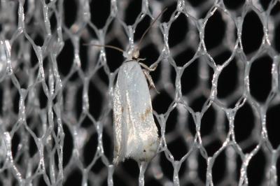 Pseudopostega crepusculella (Zeller, 1839)