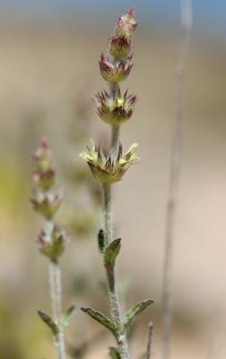 Crapaudine faux Scordium Sideritis fruticulosa Pourr., 1788