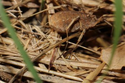 Trogulidae