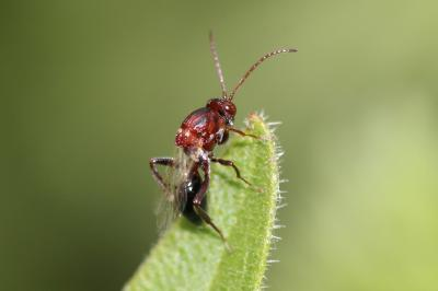 Figitidae