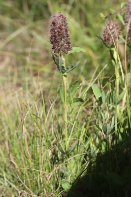 Trèfle rougeâtre, Trèfle pourpré Trifolium rubens L., 1753