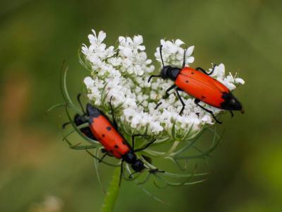 Mylabris quadripunctata quadripunctata (Linnaeus, 1767)