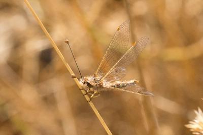 Deleproctophylla dusmeti Navás, 1914