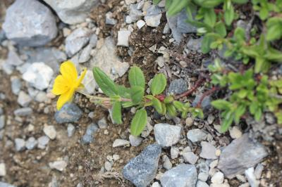 Herbe d'or Helianthemum grandiflorum (Scop.) DC., 1805