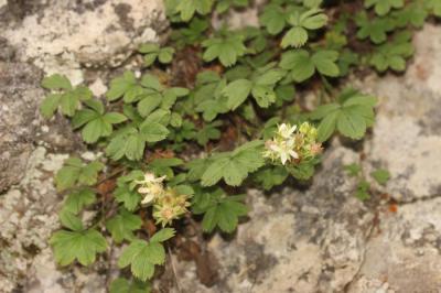 Potentille des Cévennes Potentilla caulescens subsp. cebennensis (Siegfr. ex Debeaux) Kerguélen, 1994