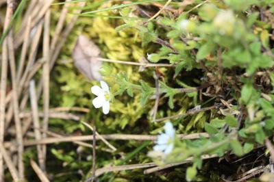 Sabline hérissée Arenaria hispida L., 1753