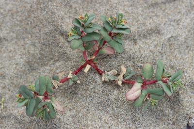 Euphorbe péplis Euphorbia peplis L., 1753