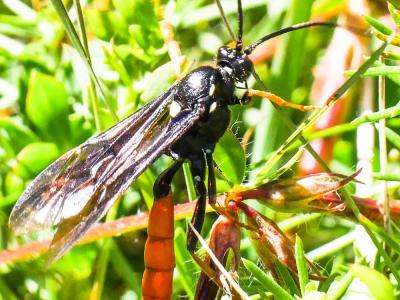 Amblyjoppa fuscipennis (Wesmael, 1845)