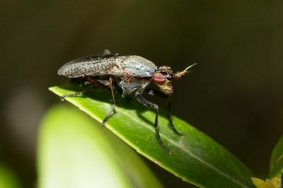 Coremacera obscuripennis