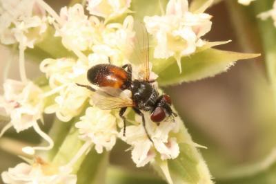 Besseria reflexa Robineau-Desvoidy, 1830