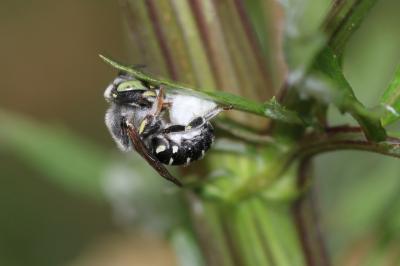 Anthidium diadema Latreille, 1809