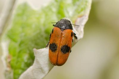 Clytra quadripunctata (Linnaeus, 1758)