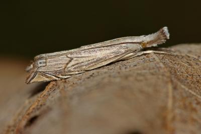Metacrambus carectellus (Zeller, 1847)