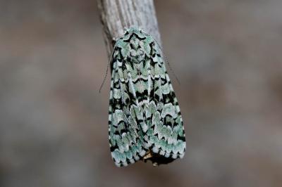 Runique (La) Griposia aprilina (Linnaeus, 1758)
