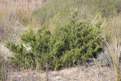 Genévrier Juniperus phoenicea subsp. turbinata (Guss.) Arcang., 1882