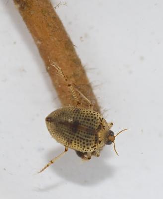 Peltodytes rotundatus (Aubé, 1836)