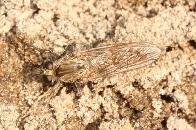 Philonicus albiceps (Meigen, 1820)