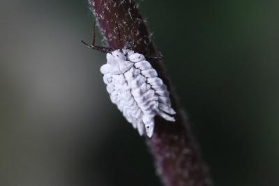 Ortheziidae Amyot & Audinet-Serville, 1843