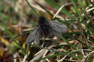 Ptilocephala Rambur, 1866