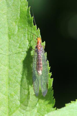 Nothochrysa capitata (Fabricius, 1793)