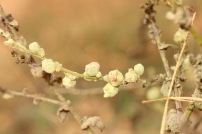 Asphondylia verbasci (Vallot, 1827)