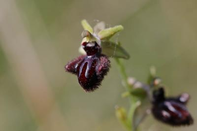 Ophrys de petite taille, Ophrys noirâtre Ophrys incubacea Bianca, 1842