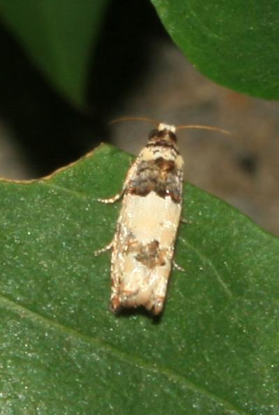 Epinotia thapsiana (Zeller, 1847)