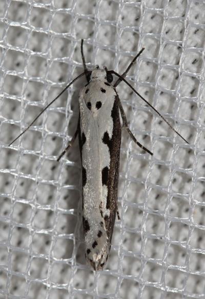 Ethmia bipunctella (Fabricius, 1775)