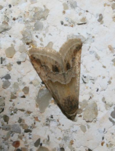 Anthophile des Inules (L') Eublemma parva (Hübner, 1808)