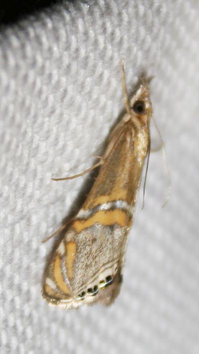 Euchromius anapiellus (Zeller, 1847)