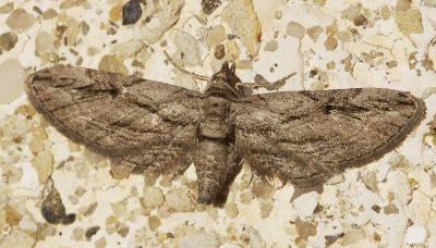 Eupithécie du Cyprès (L') Eupithecia phoeniceata (Rambur, 1834)