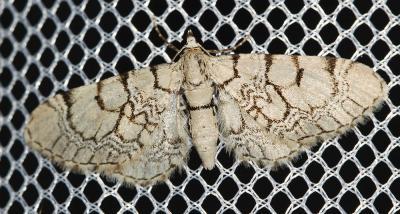 Eupithécie veinée (L') Eupithecia venosata (Fabricius, 1787)