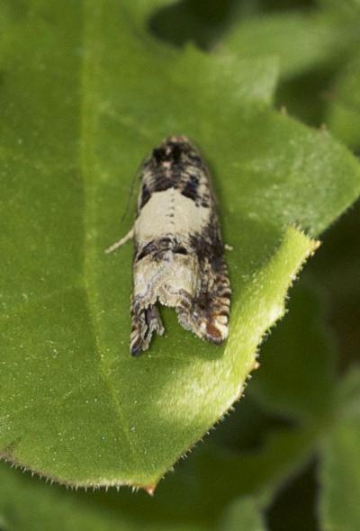 Gypsonoma sociana (Haworth, 1811)