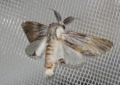 Dragon Harpyia milhauseri (Fabricius, 1775)